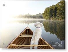 Small White Cockapoo Dog Navigating Acrylic Print