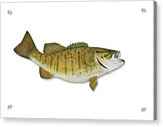 Smallmouth Bass With Clipping Path Acrylic Print by Georgepeters