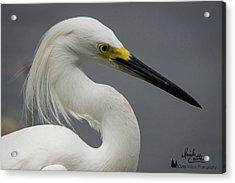 Snow Egret Portrait Acrylic Print