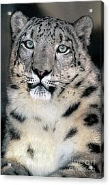Snow Leopard Portrait Endangered Species Wildlife Rescue Acrylic Print