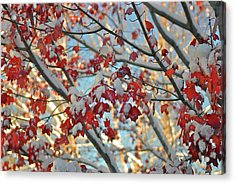 Snow On Maple Leaves Acrylic Print