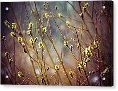 Snowfall On Budding Willows Acrylic Print