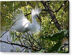 Snowy Egret 4031202 Acrylic Print