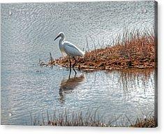 Snowy Egret Hunting A Salt Marsh Acrylic Print