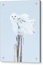Snowy Owl Feather Shake Acrylic Print
