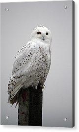 Snowy Owl In Fog Acrylic Print