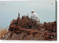 Snowy Owl In The Dunes Acrylic Print