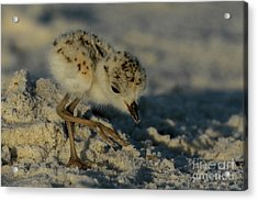 Snowy Plover On The Hunt Acrylic Print