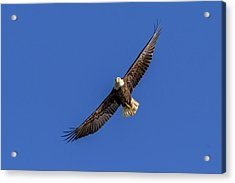 Acrylic Print featuring the photograph Soaring Eagle by Lori Coleman