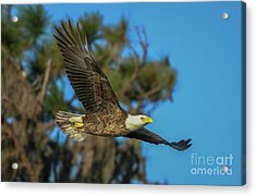 Acrylic Print featuring the photograph Soaring Eagle by Tom Claud