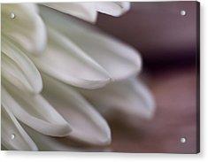 Soft White Petals-1 Acrylic Print