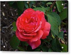 Solitary Rose Acrylic Print