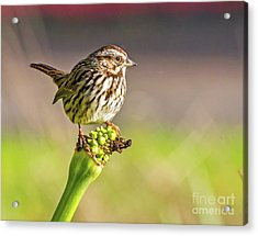 Songster Perching Acrylic Print