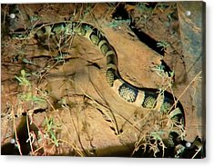 Acrylic Print featuring the photograph Sonoran Desert Longnosed Snake Vintage by Judy Kennedy