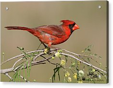 South Texas Cardinal Acrylic Print
