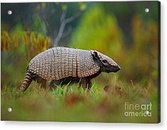 Southern Naked-tailed Armadillo Acrylic Print