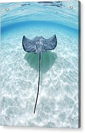 Southern Stingray Cayman Islands Acrylic Print