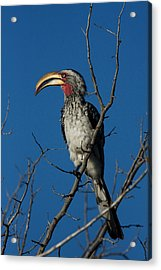 Southern Yellow-billed Hornbill Acrylic Print by David Hosking
