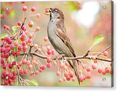 Sparrow Eating Berries Acrylic Print