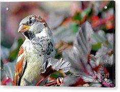 Sparrow Profile Acrylic Print