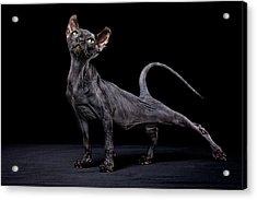 Sphynx Cat Acrylic Print by Alexandra Draghici