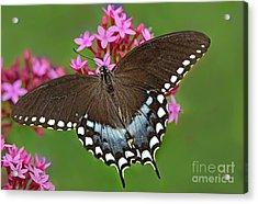 Spicebush Swallowtail Papilio Trollus Acrylic Print