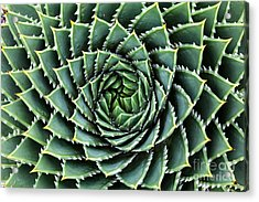 Spiral Aloe-aloe Polyphylla Acrylic Print