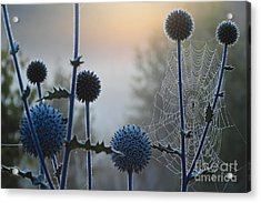 Spring Beautiful Thistle In The Meadows Acrylic Print