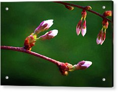 Spring Buds - Weeping Cherry Tree Acrylic Print