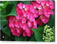 Spring Hydrangea Acrylic Print