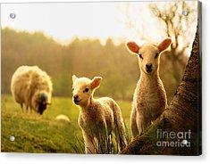 Spring Lambs Acrylic Print by Drew Rawcliffe
