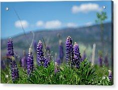 Spring Lupines Acrylic Print