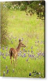 Springtime Whitetail Acrylic Print