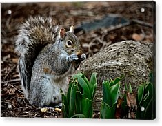 Squirrel And His Dinner Acrylic Print