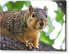 Squirrel Close Up Acrylic Print