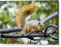 Squirrel Crouching On Tree Limb Acrylic Print