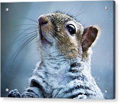 Squirrel With Nose In The Air Acrylic Print