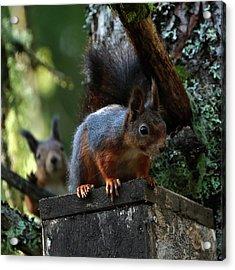 Squirrels Acrylic Print