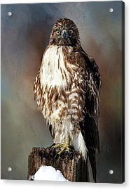 Stare Down With A Hawk Acrylic Print