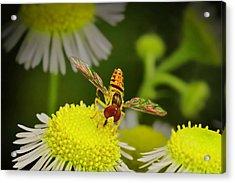 Sugar Bee Wings Acrylic Print