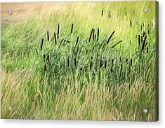 Summer Cattails In Field Of Grass - Acrylic Print