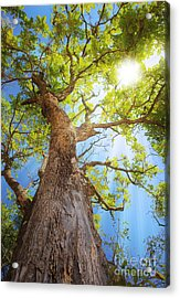 Sun Rays Streaming Through Tree Acrylic Print