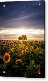 Sunflower Day Acrylic Print by Vincent James