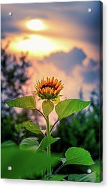 Sunflower Opening To The Light Acrylic Print