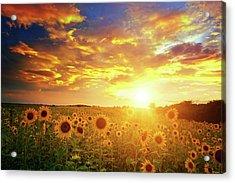 Sunflowers Field And Sunset Sky Acrylic Print by Avalon studio