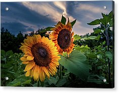 Sunflowers In Evening Acrylic Print
