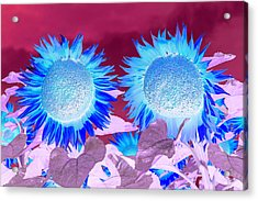 Sunflowers, Provence, France Acrylic Print