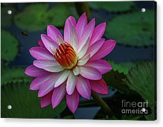 Acrylic Print featuring the photograph Sunlit Lily by Tom Claud