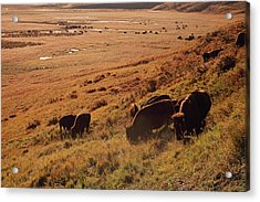 Sunrise On Bison Bison Bison Grazing On Acrylic Print