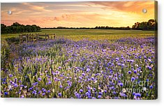 Sunset Over A Wild Flowers In Cornwall Acrylic Print